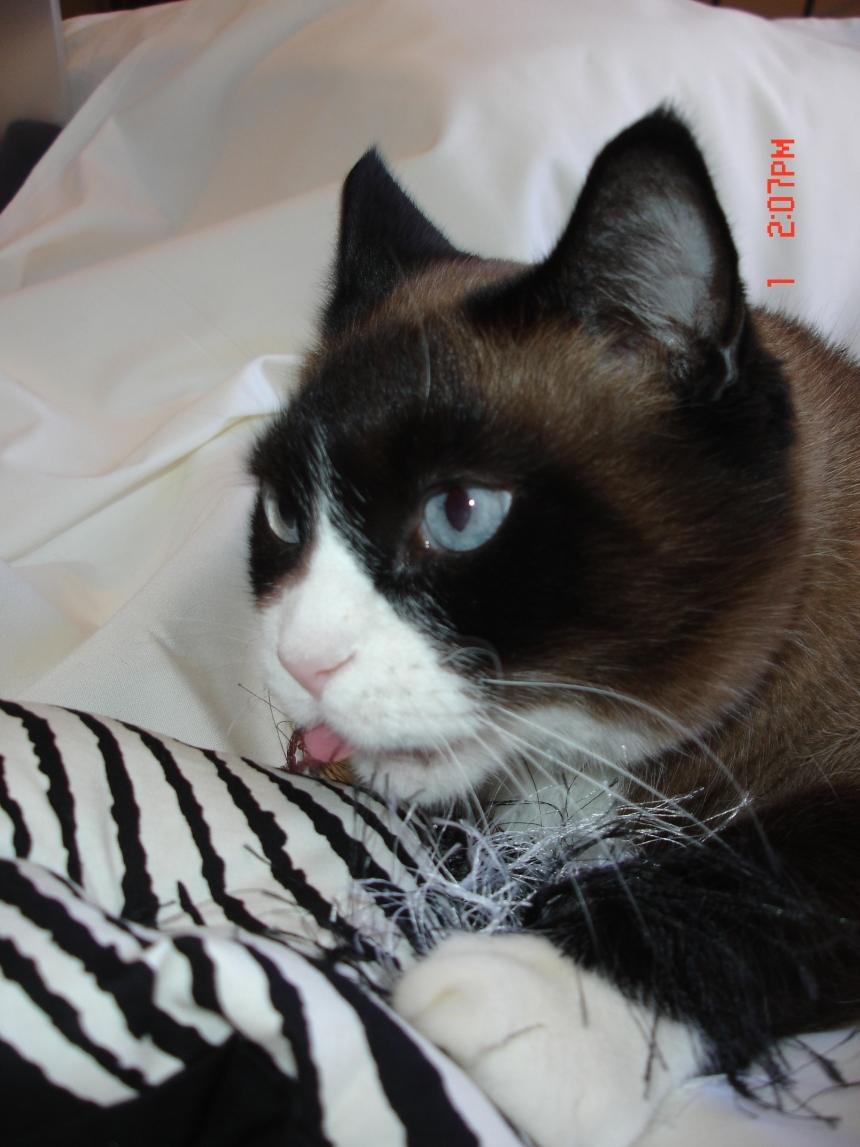 Wild Cat Zebra Catnip Pillow By Too Cute Cats Pet Items