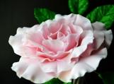 """Light Pink Gumpaste Rose, XXL, Ruffled, 3.5"""" and 3-Leaf Stem"""