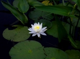 Water Lily, Lake, Algonquin Park, Photo Print 8' x 6'