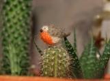 Super tiny and cute felted robin miniature - mini bird